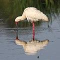 African Spoonbill, Platalea alba at Rietvlei (38727079852).jpg