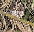 African Wood Owl (cropped).jpg