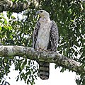 African crowned eagle (Stephanoaetus coronatus) immature.jpg