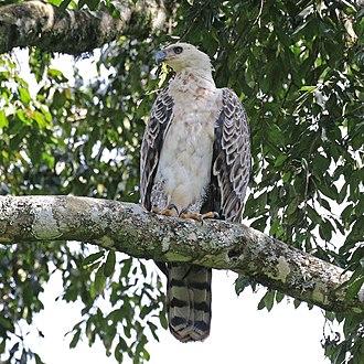 Crowned eagle - Immature Kakamega Forest, Kenya