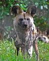 African wild dog2.jpg