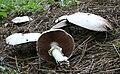 Agaricus silvicola 080815wa.JPG