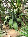 Agave ferox (in a greenhouse) 01.JPG