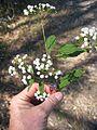 Ageratina riparia branch2 (11508565773).jpg