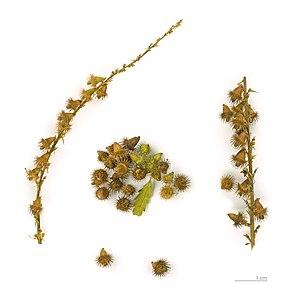 Agrimonia eupatoria - Seeds