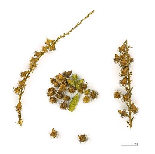 Agrimonia eupatoria MHNT.BOT.2004.0