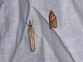 Agriphila tristella and Epiphyas postvittana (36208973003).jpg