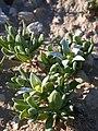 Aizoon hispanicum 1.JPG