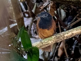 Akletos melanoceps - White-shouldered Antbird (female); River Moa, Mancio Lima, Acre, Brazil.jpg