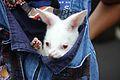 Albino wallaby at the Columbus Zoo-2011 07 11 IMG 0778.JPG