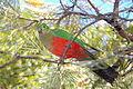 Alisterus scapularis (female) -tree-8a.jpg