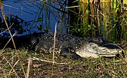Alligator - Alafia Springs State Park