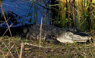Alafia River - Image: Alligator Alafia Springs State Park