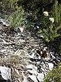 Allium ericetorum sl1.jpg