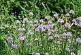 Allium schoenoprasum 0zz.jpg