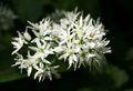 Allium ursinum-01 (xndr).jpg