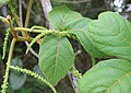 Allophylus cobbe leaves and flowers 05.jpg