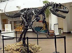 Mounted Skeleton Casts Posed Depicting A Specimen Rearing Up To Protect Its Young Now Considered Kaatedocus From An Allosaurus Fragilis