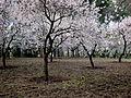 Almendros en flor IV.jpg