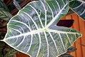 Alocasia watsoniana 0zz.jpg