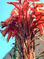 Aloe Kedongensis FlowersCloseupAlicante.jpg