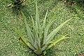 Aloe vera 24zz.jpg