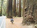 Along Avenue of the Giants (21904230326).jpg
