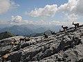 Alpensteinböcke, Capra ibex auf der Sulzfluh 5.JPG