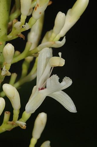 Alpinia galanga - Alpinia galanga (L.) Willd.