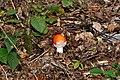 Amanita muscaria qtl5.jpg