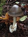 Amanita pachycolea D.E. Stuntz 476402.jpg
