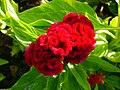 Amaranthus (16).jpg