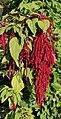 Amaranthus caudatus JdP.jpg