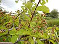 Amelancheir alnifolia - Saskatoon serviceberry - Flickr - Matt Lavin.jpg