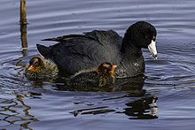 American-coot-casey-klebba.jpg