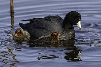 American coot - American coot with chicks, Pescadero Marsh Natural Preserve, California