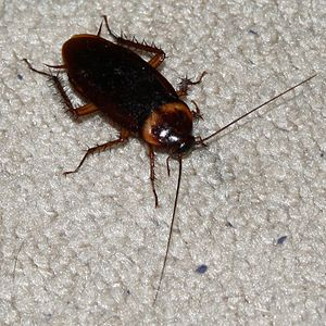English: An American Cockroach photographed in...