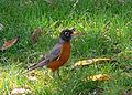 American robin (2552258256).jpg