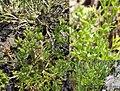 Ammoselinum rosengurtii.jpg