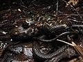 Amphiesma pryeri ガラスヒバァ 沖縄県 やんばる 20190811.jpg