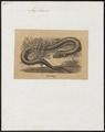 Amphiuma didactylum - 1700-1880 - Print - Iconographia Zoologica - Special Collections University of Amsterdam - UBA01 IZ11400181.tif
