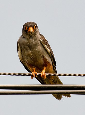 Amur falcon - Male