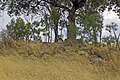An Eastern Grey Kangaroo (Macropus giganteus) on the top of Rocky Hill.jpg