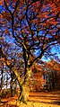 An Old Tree - panoramio (2).jpg