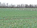 An experimental crop at Smeathalls Farm - geograph.org.uk - 1620911.jpg