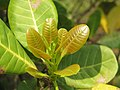 Anacardium occidentale young leaves at Mayyil.jpg