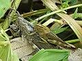 Anacridium aegyptium Egyptian Locusts mating (32396416281).jpg