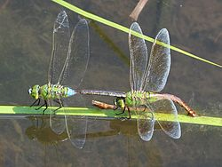 Anax parthenope male and female.JPG