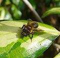 Andrena ( possibly carantonica). Female - Flickr - gailhampshire.jpg