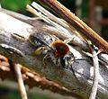 Andrena haemorrhoa. Female. - Flickr - gailhampshire.jpg